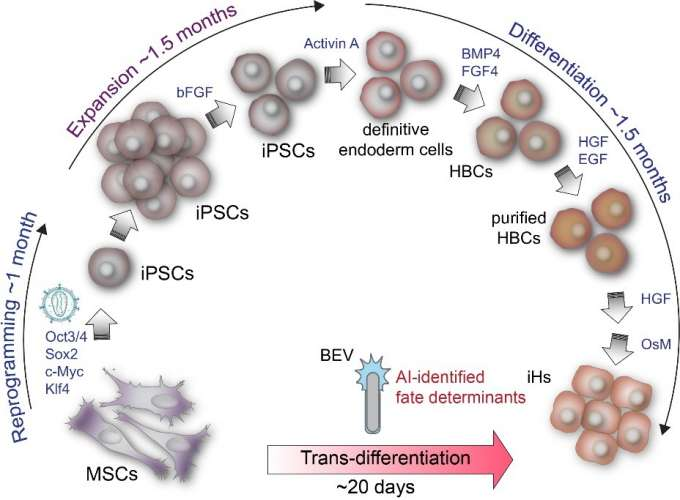 Efficient AI-directed transdifferentiation (red arrow) vs. inefficient, multi-step iPSC-based differentiation (arch) to create induced hepatocytes (iH) from mesenchymal stem cells (MSCs).
